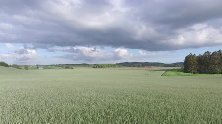 назад : Drone view: flying over beautiful wheat fields in the rural countryside. Blue sky with clouds. Стоковые видеозаписи