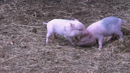 svině : Small piglets on a farm a fight. Little piglets.