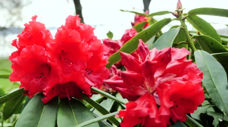 foxglove : Red rhododendron flowers. Stock Footage