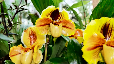 orchidea : Blossom of yellow Orchid flower. The camera moves back on the slider.