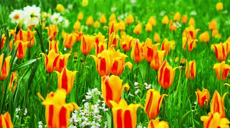 tulipany : Close up of Yellow tulips in a field. The camera moves back on the slider. Color correction.