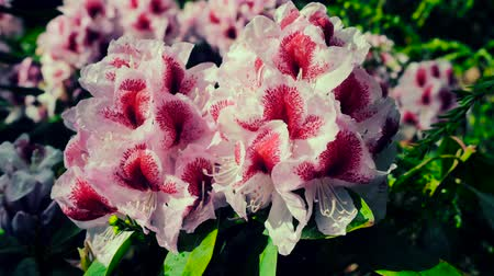 rhododendron : THE WHITE FLOWER OF RODODENDRON IN THE BEAUTIFUL BACKGROUND. Stock Footage