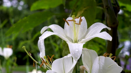 lilie : Beautiful white lilies on blurred background, closeup
