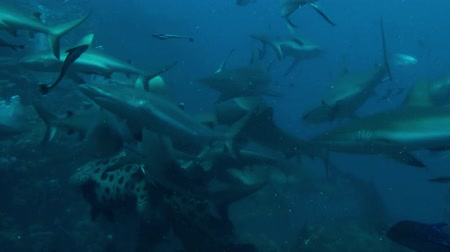 ragadozó : A reef shark feeding frenzy in the Coral sea. Stock mozgókép