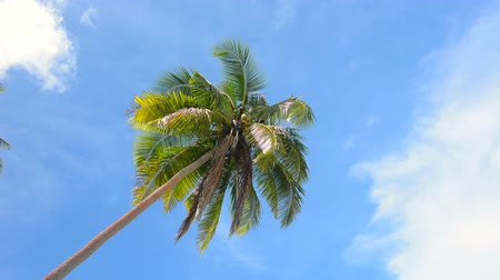 árvores : A tropical palm tree poised against a tropical, blue sky.