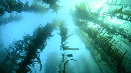 ormanda yaşayan : A beautiful kelp bed in southern California sways to the gentle motion of the water