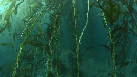 ormanda yaşayan : Kelp dying as a result of warm water shows the leaves quickly deteriorating. Soon, the stalks will collapse and the area will become barren. When cold water returns, the kelp will grow back at up to a rate of three feet per day.