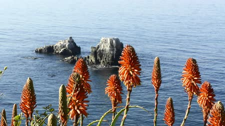 вера : Beautiful orange Aloe Vera blooms highlight a beautiful, blue ocean in southern California during a bright day