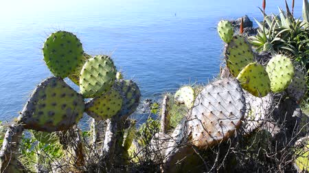 kaktusz : Thorny prickly pear cactus line the Cliffside of an ocean front overlook during a bright, sunny day Stock mozgókép