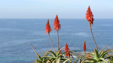вера : Beautiful aloe vera cactus blooms highlight a beautiful, blue ocean during a bright, sunny day Стоковые видеозаписи