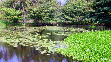 fuksja : Off to the side of Punaluu black sand beach is a beautiful pond covered with green aquatic plants and beautiful purple flowers.