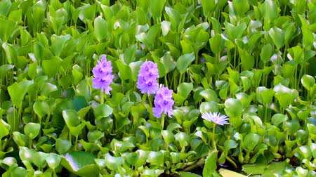 fuksja : Close up of purple pond lilies along a remote beach in Hawaii.