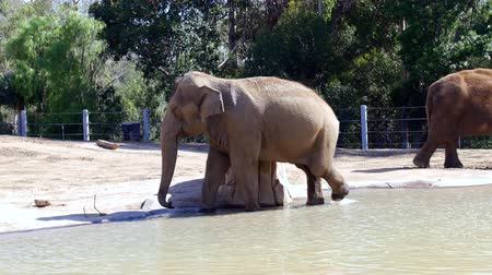 állatkert : Two elephants relaxing in the sunshine around the edge of a water pond they use for cooling off and playing