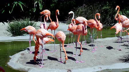 flaming : A flock of volorful pink flamingos relax in a cool pond during a bright day