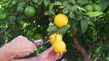citrón : A man snips three ripe lemons from a lemon tree to make lemonade Dostupné videozáznamy