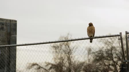 Red Shouldered Hawk perched on a chain link fence as the sun sets. The bird turns and flies away