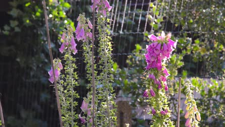 foxglove : Fox glove flowers in garden with bees crawling in and out Stock Footage