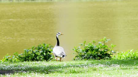 indicus : Bar Headed Goose considers indicus standing on the shore bank of a lake overlooking the water on a sunny day