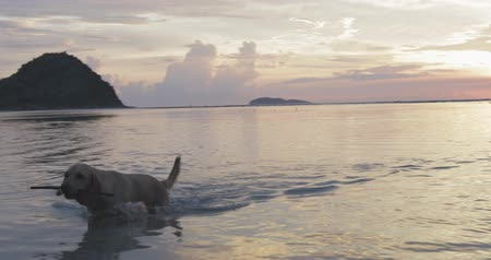 hůlky : active pretty dog, pet, labrador getting out of water (sea or ocean) in the evening,holding toy in its mouth, sunset summer time Dostupné videozáznamy