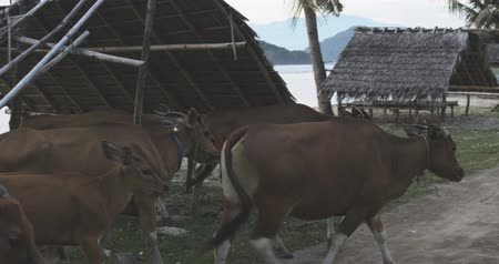 markiza : A herd of red cows walking together onthe road near sandy beach, awning or canopy, tropical country pasture