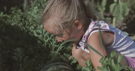 mezítláb : Little pretty girl chooses the watermelon in the field. The harvest of watermelons. The child shows a strong surprise. 4k video shooting by handheld gimbal