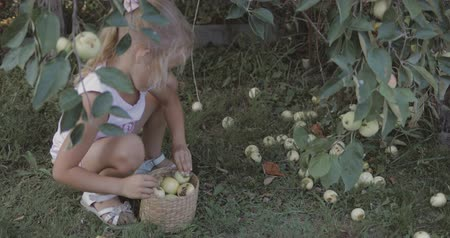apple park : Little pretty girl picks apples in garden. Child helps parents to harvest fruit. 4k video shooting by handheld gimbal