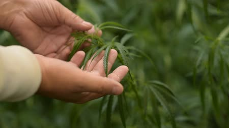 thc : the guy checks the young hemp in the rain