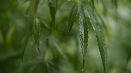 leaves of young and wild hemp swing from the wind in rainy weather