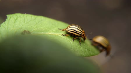 Colorado potato beetle eats Pests and parasites destroy crops in agriculture