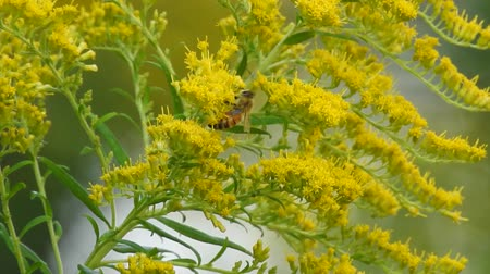 asta : Honeybee Gathering Nectar Tall Golden Rod Superzoom Out