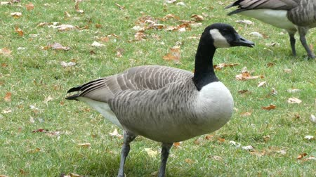 hladový : Closeup Of Canadian Goose