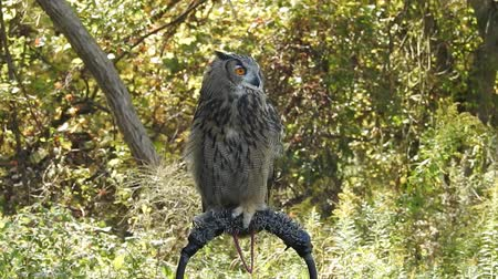 buho : European Eagle Owl en gallinero en el bosque Archivo de Video