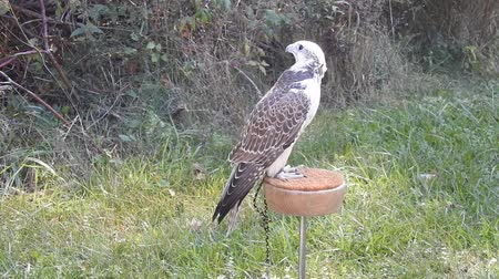 watching : Gyrfalcon Saker Hybrid Standing On Roost Looking Around