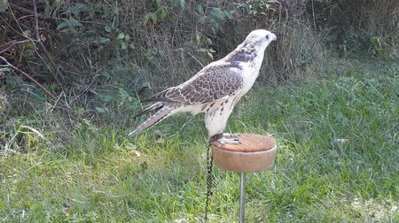 pied en eventail : Gyrfalcon Saker Hybrid sautant sur Roost Looking Around