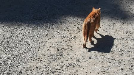 ronronar : Orange Tabby Cat Walking On Dirt Pebble Road