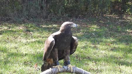 sas : Golden Eagle Standing On Roost Then Turns Around 360 Degrees