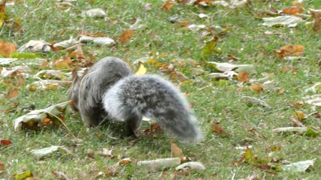 žalud : Bushy Tailed Squirrel Foraging For Food Dostupné videozáznamy