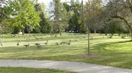 hladový : Canadian Geese Foraging For Food With Sunlight On Grass