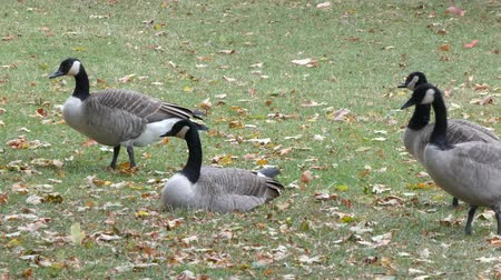 hladový : Canadian Geese Walking In Park While Other Geese Sit Down Dostupné videozáznamy