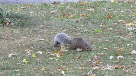 белка : Squirrel Foraging For Food With Leaves On The Ground