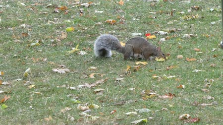 roedor : Squirrel Foraging For Food With Leaves On The Ground III