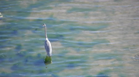 batoh : 4K Crane Walking Around Looking For Food With Garbage Bag In Water Amongst Algae And Sand