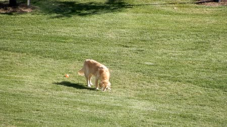 deitado : Golden Retriever Playing With Orange Ball In Grassy Lawn Meadow 4K