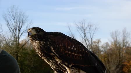 volo : 4K Harris Hawk Looking Around