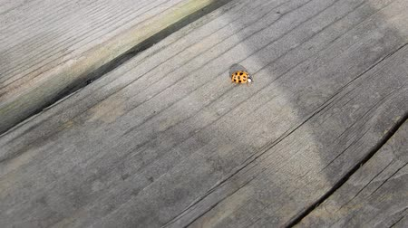 katicabogár : Ladybug Crawling Fast On Grey Picnic Wooden Picnic Table 4K