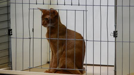 gaiola : Abyssinian Cat Looking Around In Cage While Sitting Up Straight 4K