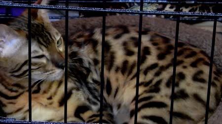 kotki : Bengal Cat Breathing Inside Cat Cage 4K