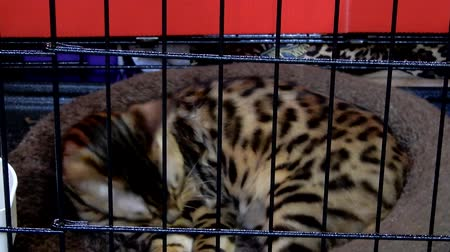 kotki : Bengal Cat Licking Grooming Itself Inside Cat Cage II 4K Wideo