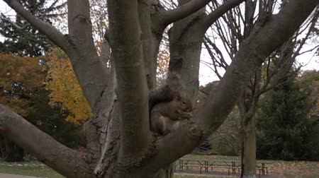 orzechy : Cinematic Zoom In Of Squirrel Eating Nut In Tree Wideo