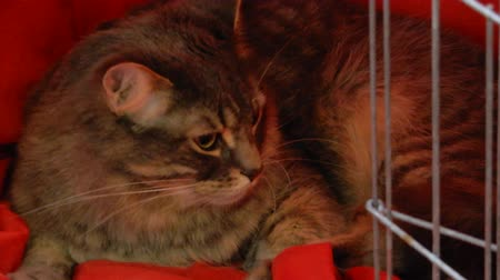 grzebień : Closeup Of Cat Laying Down And Looking Around In Cat Cage On Red Sheet 4K Wideo